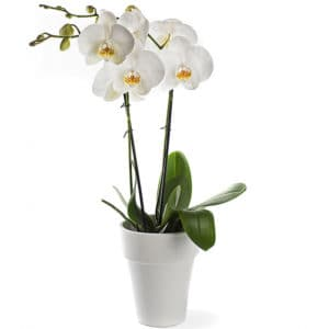 phalaenopsis_in_pot_cadeau